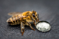 Macro image of a bee on a gray surface drinking a honey drop fro